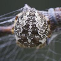 Rücken einer Kreuzspinne