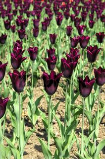 Triumph-Tulpen Havran