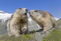 Murmeltiere (Marmota marmota), Nationalpark Hohe Tauern, Kärnten, Österreich, Europa