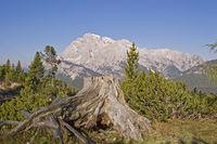 Alter Wurzelstock in den Dolomiten