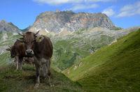 Alpenkuehe vor Rote Wand im Lechquellengebirge; Oesterreich; Tir