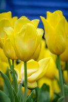Bunch of yellow tulips