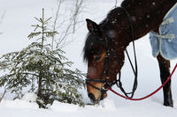 chestnut horse eats at young spruce trees and tree branches.