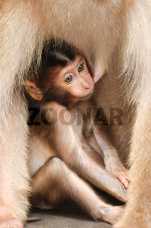 Pig-tailed Macaque - baby - Borneo-Malaysia _0005.jpg