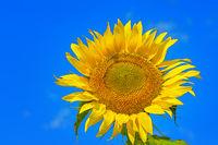 Closeup of flower sunflower