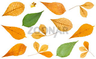 set of various leaves of horse chestnut trees