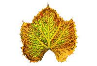 autumn vine leaf isolated