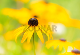 Flowerbed with yellow echinacea flowers