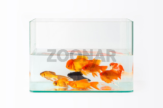 glass fish tank with goldfish isolated