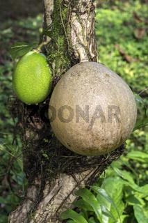 Reife und unreife Frucht eines Kalebassenbaums (Crescentia cujete), Ecuador