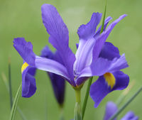 Zwerg-Schwertlilie oder Zwerg-Iris (Iris pumila)