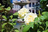 White roses in the Dolmabahce Palace garden