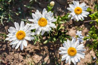 Leucanthemum vulgare flowers in Sicily