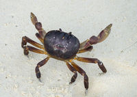Crab with raised claws ready to attack