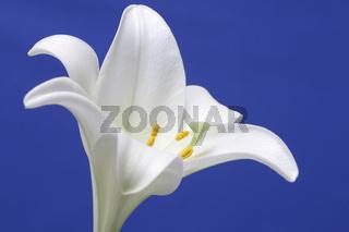 Die weiße Lilie ist ein altes Licht-Symbol. In der christlichen Kunst gilt sich auch als Symbol der Reinheit