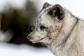 Gray arctic fox, female with winter fur, suspected to be a hybrid due to the dark color. Looking to the left, soft background with snow and bushes.