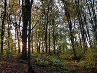 Herbstwald am Abend im Gegenlicht
