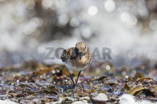 Sanderling am Wasser