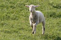 Springendes Lamm