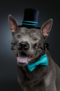 beautiful thai ridgeback dog in high hat and bow
