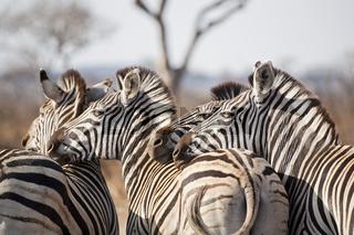 Steppenzebra, Pferdezebra (Equus quagga burchelli), Kruger Nationalpark, Suedafrika, Afrika, Plains Zebra, Common Zebra, Burchell's Zebra, South Africa