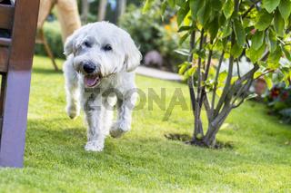 Beautiful and playful white haired Wheaten Terrier happily runs around the garden