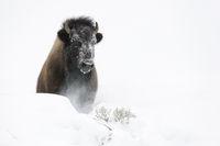 Schneeberge...  Amerikanischer Bison *Bison bison*