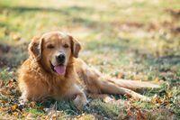 Portrait of a dog (golden retriever)