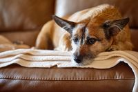 Dog resting on the couche