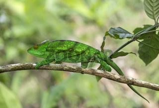 Panther-Chamäleon (Calumma parsonii), Madagaskar