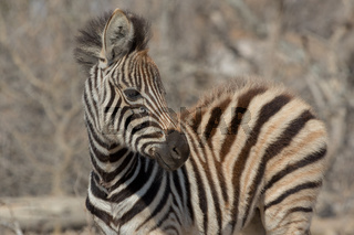 Zebra Kruger national Park