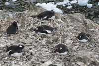small colony of Gentoo penguins on an island off the west coast of the Antarctic Peninsula