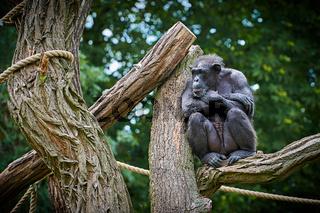 Schimpanse sitzt auf einem Baum