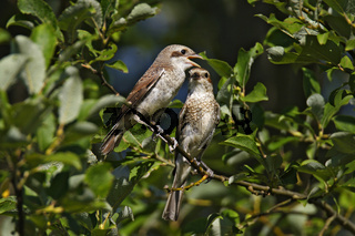 Neuntoeter - Weibchen mit Jungvogel, Lanius collurio, red-backed shrike – female with squab