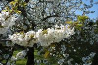 20180417_Prunus avium, Süßkirsche, Sweet Cherry005.jpg