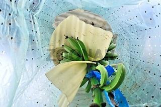 Wachstum unter der Folie Bananenstaude
