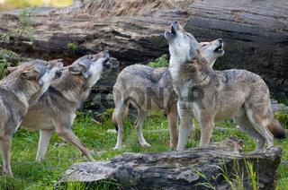 Europäischer Wolf - (Canis lupus) - European wolf
