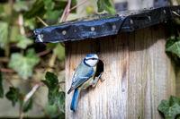 Blue tit at a birdhouse