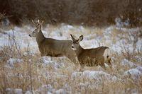 Prairie Deer in Winter