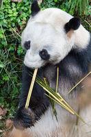 giant panda closeup