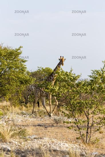Giraffe, Etosha-Nationalpark, Namibia
