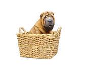 beautiful shar pei puppy in basket