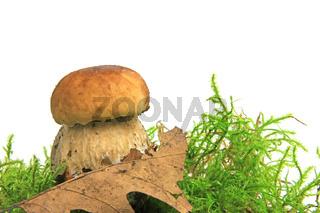 Steinpilz (Boletus edulis)