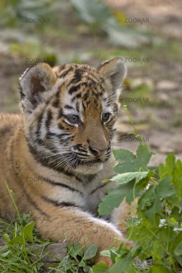 Sibirischer Tiger (Panthera tigris altaica)