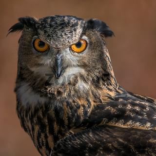 Eurasian Eagle Owl IV