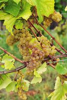 Weißer Burgunder Wein Traube