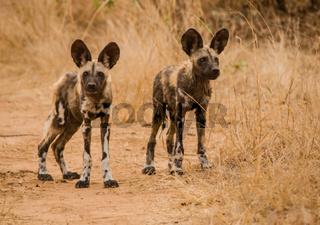 Afrikanische Wildhunde in der Savanne vom in Simbabwe, Südafrika