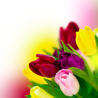 Beautiful tulip pink, red, purple, yellow flower bouquet square background. Greeting card template. Spring narture. Soft toned
