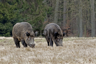 Wildschweine (Sus scrofa), Keiler, Schleswig Holstein, Deutschland, Europa