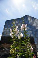 Stockrosen vor der neuen Unibibliothek Freiburg Breisgau